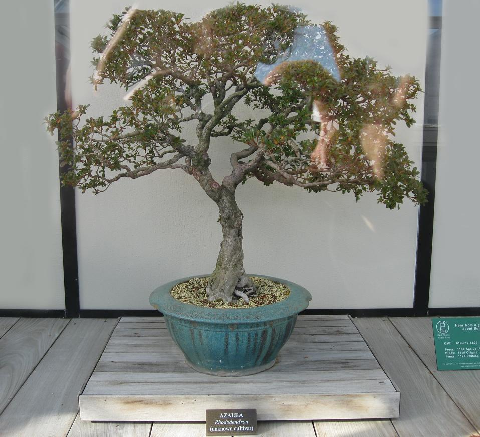 Azalea Bonsai