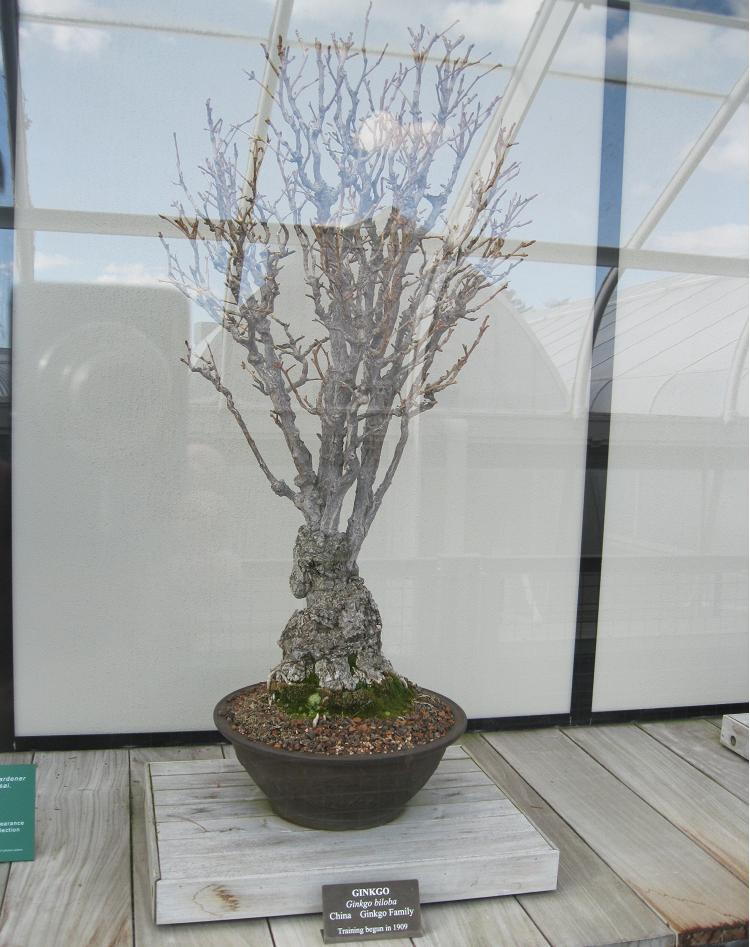 Ginko Bonsai