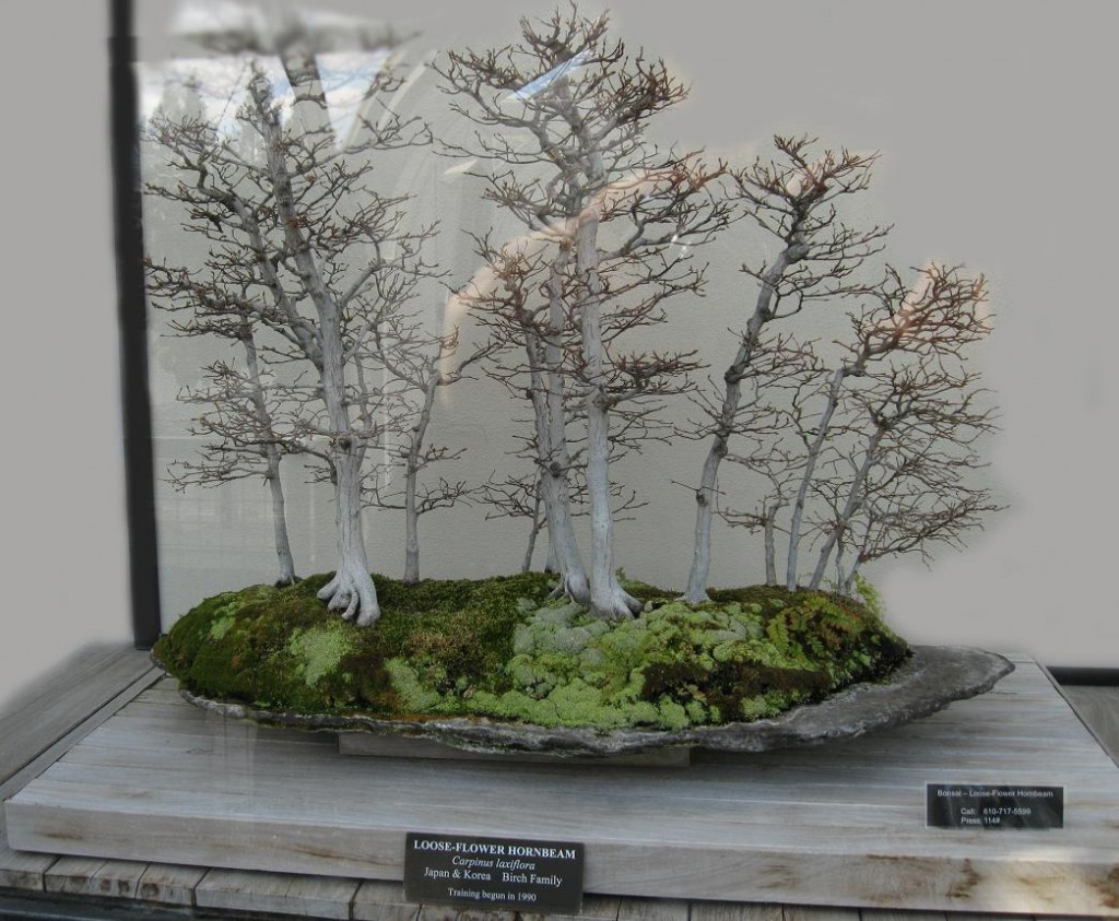 Loose Flower Hornbeam Bonsai