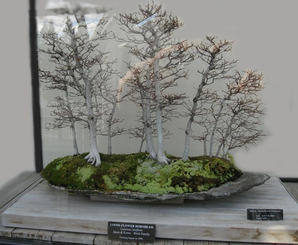 Loose Flower Hornbeam Bonsai