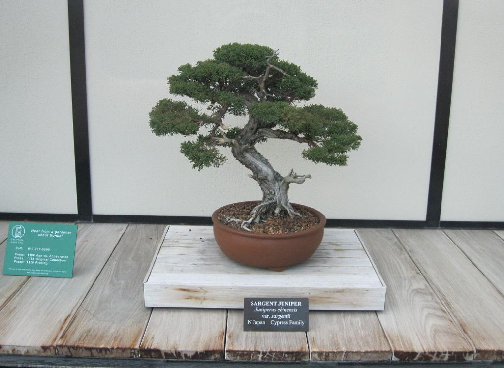 Sargent Juniper Bonsai