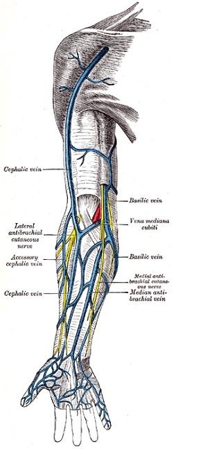 cephalic