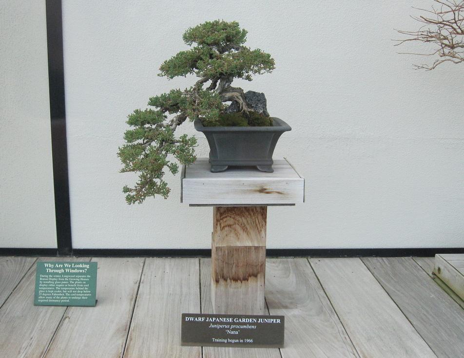 Dwarf Japanese Juniper Bonsai